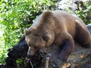brown bear, lying, animal wallpaper