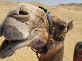 HD Wallpaper | Background Image camel, face, mouth