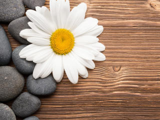 Camomiles Stones White Flower wallpaper