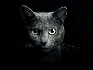 cat, black, breed wallpaper