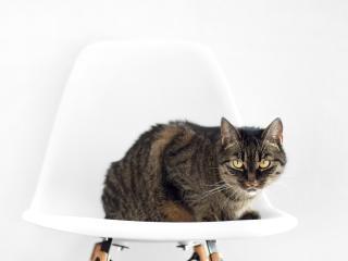 cat, chair, sit wallpaper