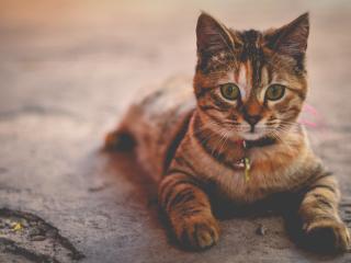 cat, collar, lying wallpaper