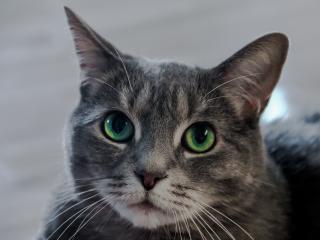 cat, green-eyed, muzzle wallpaper