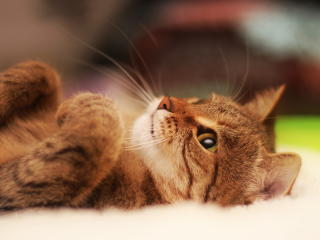 cat, lying, cool cat wallpaper