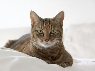 cat, muzzle, striped wallpaper