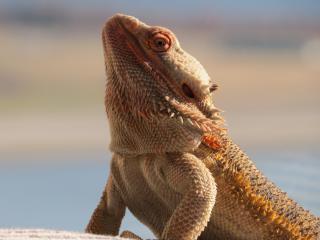 central bearded dragon, lizard, reptile wallpaper