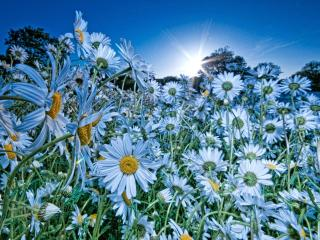 chamomile, flowers, meadow wallpaper