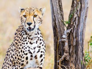 HD Wallpaper | Background Image Cheetah