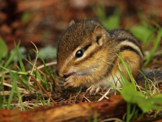 chipmunk, rodent, grass wallpaper