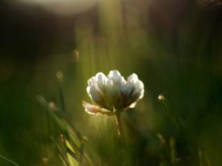 clover, flower, grass wallpaper