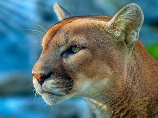 Cougar wallpaper