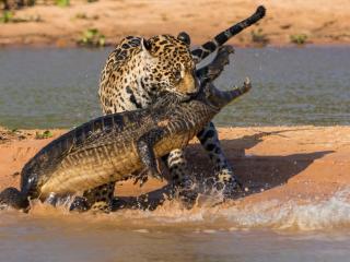 crocodile, jaguar, hunting wallpaper