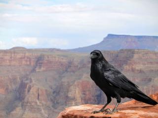 crows, bird, canyon wallpaper