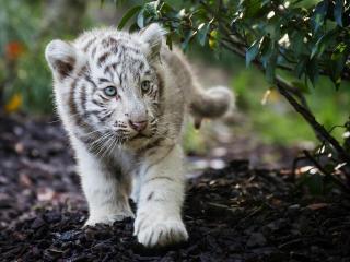 Cute Cub Bengal White Tiger wallpaper