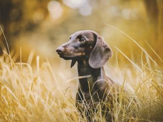 Dachshund wallpaper