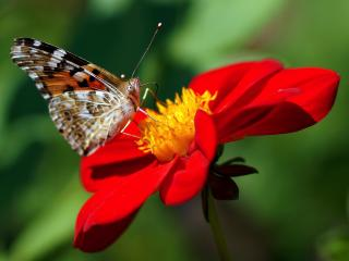 dahlia, butterfly, flower wallpaper