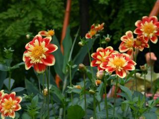 dahlias, flowerbed, flower buds wallpaper