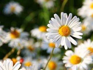 daisies, flowers, field wallpaper