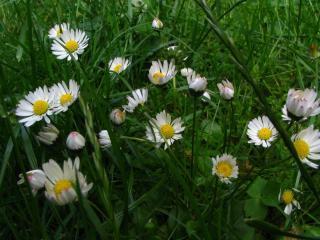 daisies, flowers, fields wallpaper