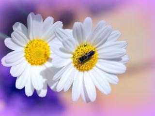 daisies, flowers, insects wallpaper