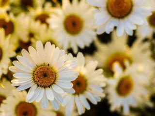 daisies, flowers, petals wallpaper