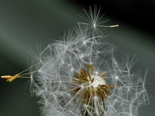 dandelion, fluff, flower wallpaper