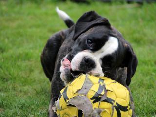 dog, muzzle, ball wallpaper