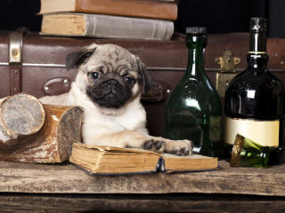 dog, pug, books wallpaper