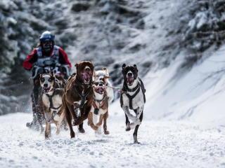 dog, racing, snow sports wallpaper