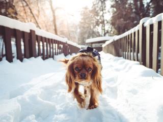 dog, walking, winter wallpaper