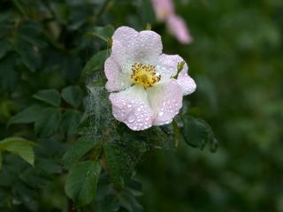 dogrose, dew, flower wallpaper