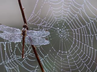 dragonfly, spider web, ice wallpaper