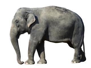 elephant, white background, large wallpaper