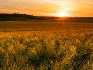 Field Summer Sunset wallpaper