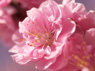flower, petals, pink wallpaper