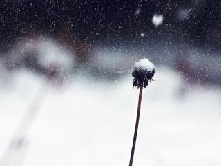 flower, stem, snow wallpaper