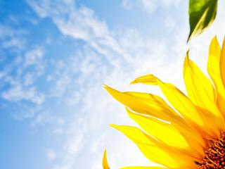 HD Wallpaper | Background Image flower, sunflower, sky