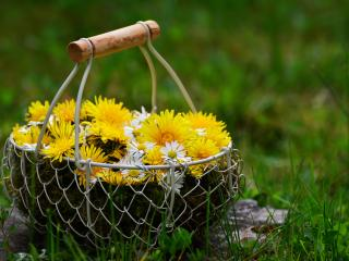 flowers, dandelions, basket wallpaper