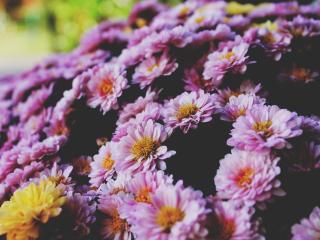 flowers, petals, lilac wallpaper