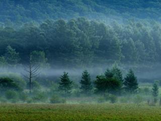 forest, fog, trees wallpaper