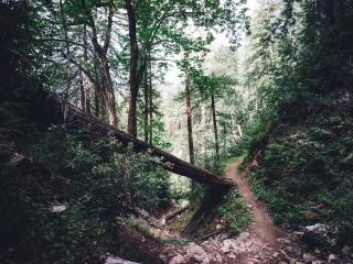 forest, trail, trees wallpaper