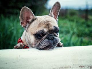 french bulldog, dog, muzzle wallpaper