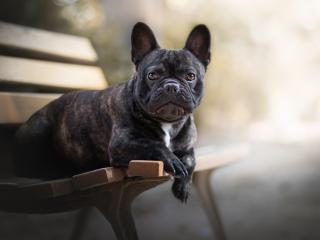 HD Wallpaper | Background Image French Bulldog