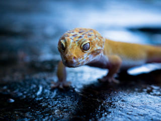 Gecko Portrait wallpaper
