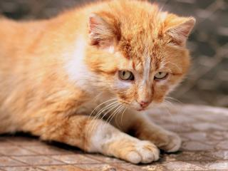 ginger cat, kitten, eyes wallpaper