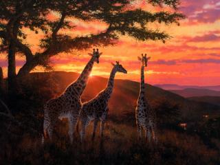 Giraffe Photography wallpaper