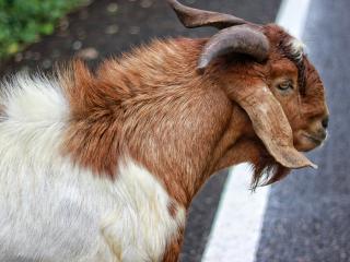 goat, wool, animal wallpaper