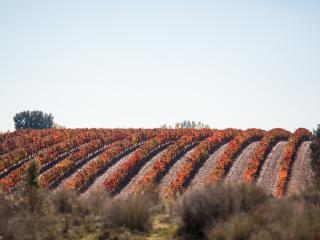 grape, vine, field wallpaper