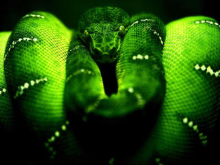 Green Python HD Razer wallpaper
