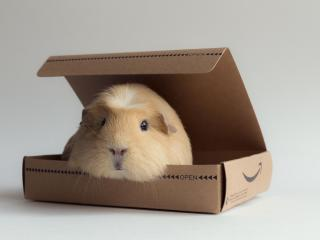 guinea pig, box, rodent wallpaper